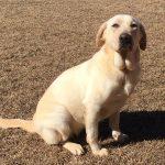 Golden Labrador Puppies for Sale South Carolina