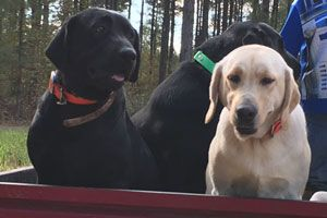 Labrador puppies available for sale