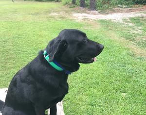 Golden Lab Puppies for Sale - Lab Dog Breeder in South