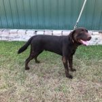 Lab Puppies for Sale SC